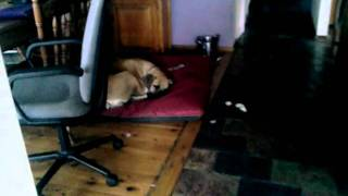 South African Boerboels Napping At Home