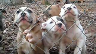 Razor's Edge / Greyline Pitbull Puppies @ 8 wks old (2011) PRICE REDUCED $500