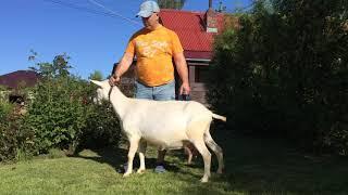 ЛПХ Мои зааненские козы