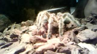 Roro tarantula rosie