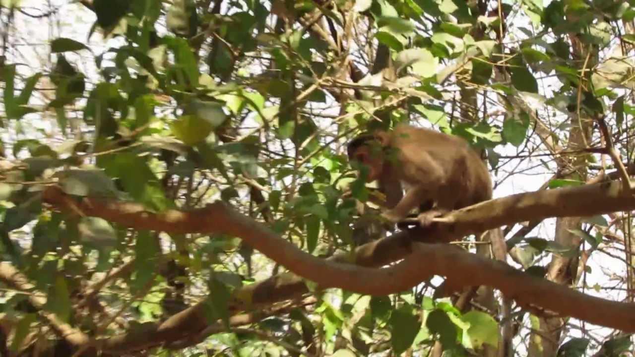 Monkey Jumping On Tree In Sanjay Gandhi National Park