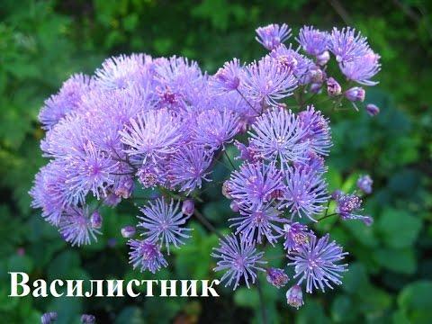 Тенелюбивые цветы для сада  Цветы фото и названия