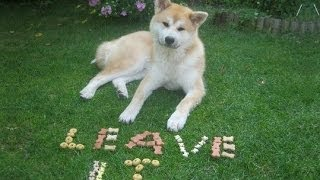 Leave It Dog Training With Akita Inu And Finnish Lapphund