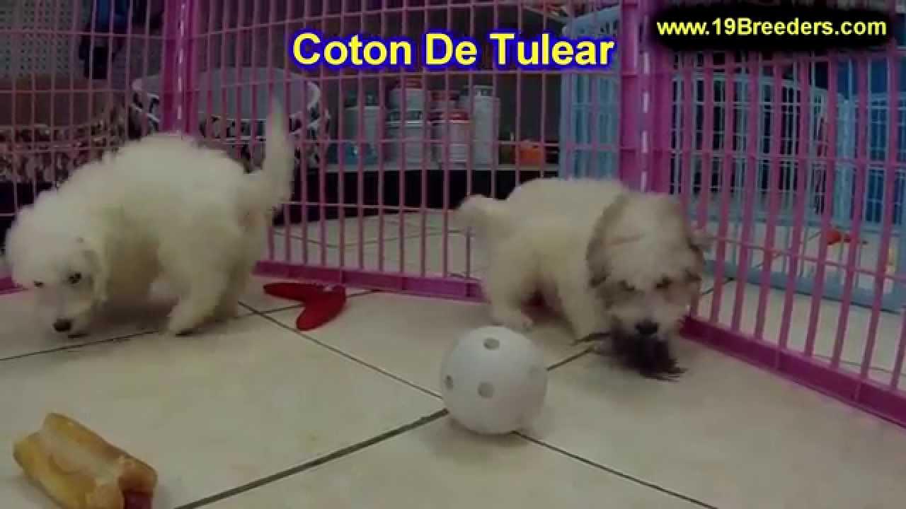 Coton De Tulear, Puppies, Dogs, For Sale, In Miami ...
