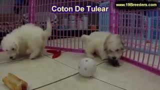 Coton De Tulear, Puppies, For, Sale, In, Birmingham, Alabama, Al, Montgomery, Tuscaloosa, Jefferson,