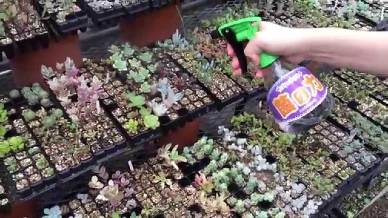 ミニ多肉植物に光合成細菌「菌の...