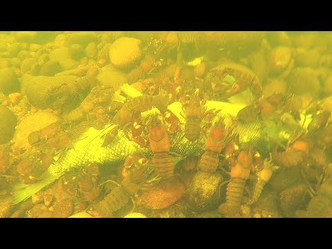 Crayfish Feasting On Dead Carp - Catch N' Cook Crawfish!