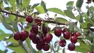 406 Садоводы приступили к сбору вишни(, 2013-05-07T20:59:35.000Z)