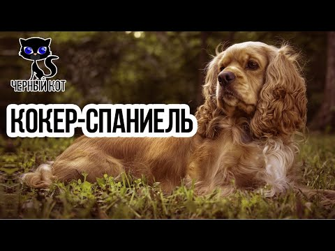 Кокер спаниель самый добрый охотничий пёс / Интересные факты о собаках