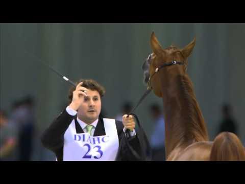 Dubai International Arabian Horse Championship 2016 -Day1