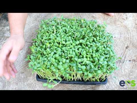 Cómo hacer Microverdes de Girasol ( brotes de semillas de girasol ).
