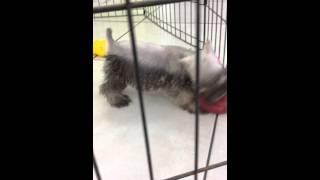 Mini Schnauzer Puppies For Sale In Miami