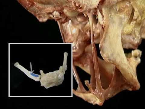 7 Músculos que actúan sobre el hueso hioides - YouTube