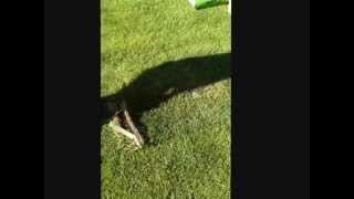 arieggiare il prato con rastrello arieggiatore