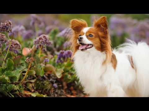 كل المعلومات عن ثالث اذكي كلب في العالم كلب البابيلون PAPILLON DOG