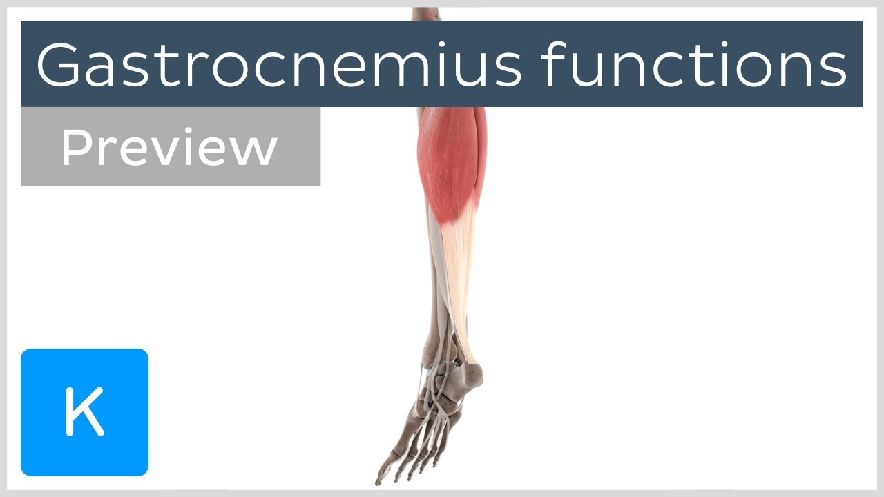 Functions Of The Gastrocnemius Muscle Preview 3d Human Anatomy