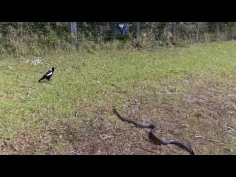 Magpie 4 Lunch?  New Cable TV Ad? Welcome to Australia!