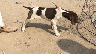 Gultair & pointer dog in kohat