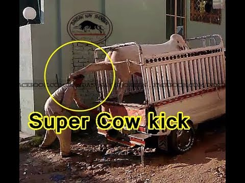 Super Cow Kick..Must Watch n Share