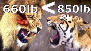 Compare Barbary Lion & Siberian Tiger , Who Would Be Stronger ? -  Animal Fact