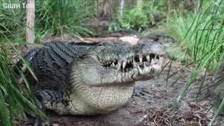 Крокодил в деле! Крокодил атакует Слонов, Зебр, Антилоп.