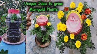 Best and Unique Method to grow Multiple Marigold Plants in Useless Plastic Containers (With Results)