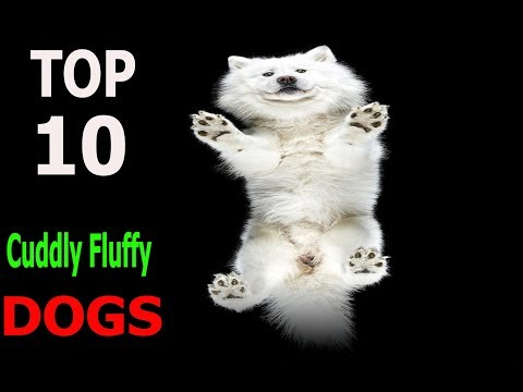 Top 10 Cuddly Fluffy Dog Breeds | Top 10 animals