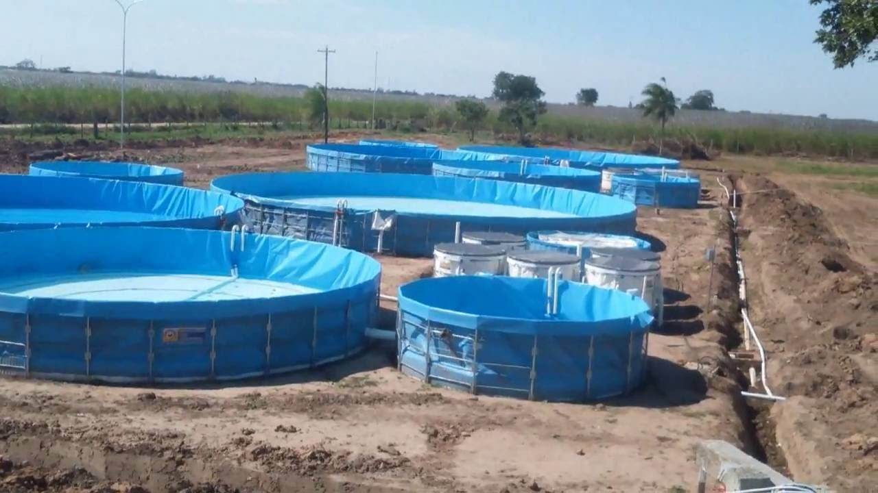 Cultivo de tilapia intensivo en recirculaci n del agua for Tanques para peces