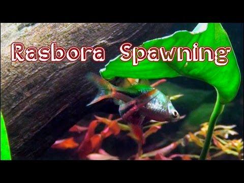 Harlequin Rasbora Spawning - Live Footage