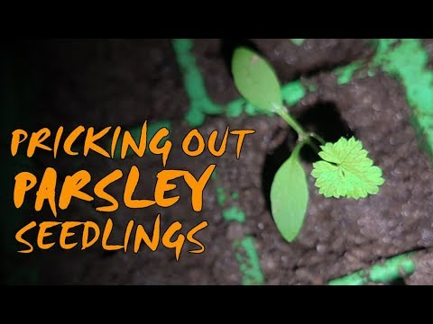 growing-parsley-|-pricking-out-and-potting-up-seedlings