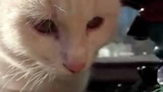 Просто красивый белый котик:)