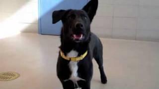 Ben A Corgi:labrador Retriever Mix Available For Adoption At The Wisconsin Humane Society