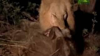 Killer Clips- Lion Sneak Attack
