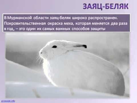 Анна Куркова. Животный мир Мурманской области