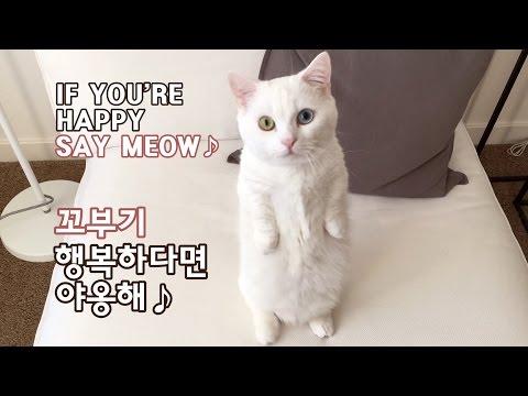 꼬부기 행복하다면 야옹해 - 1살+2개월 오드아이 먼치킨 고양이 Munchkin Cat Gato マンチカンねこ 短足猫
