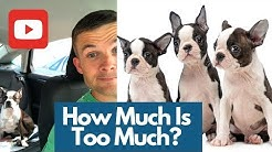 How Much Do Boston Terriers Cost? And why pet stores can feel like used car lots.