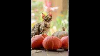 Chinese Li Hua Cat