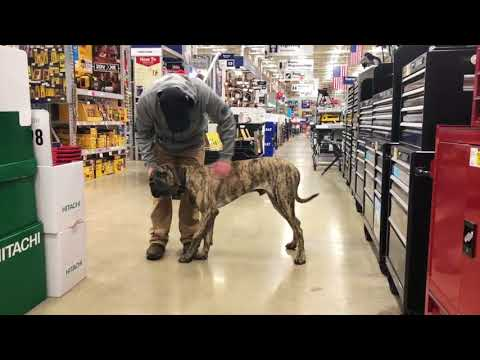 toledo-dog-training:-english-mastiff,-gus--before/after-two-weeks!
