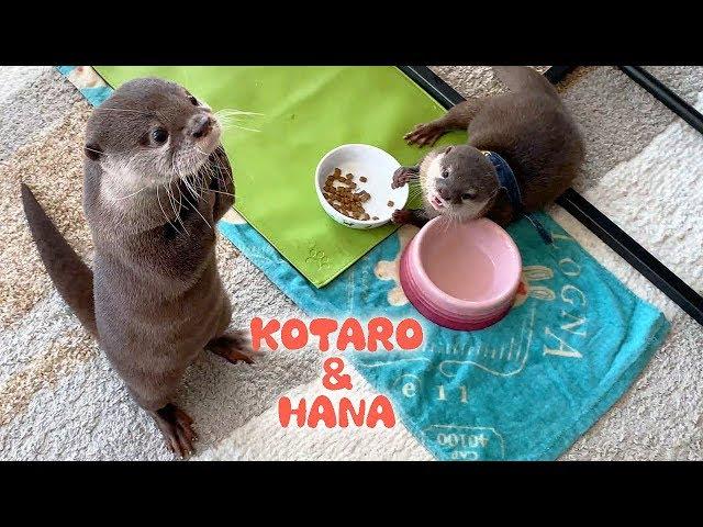 カワウソコタローとハナ 高級珍味「あこや貝」をあげてみた Otter Kotaro&Hana Eat Pearl Oyster