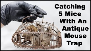 Catching 5 Mice With An Antique Wire Cage Mouse Trap. Mousetrap Monday