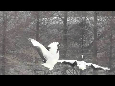 Red-Crowned Cranes Dancing by Martha Kao - HD