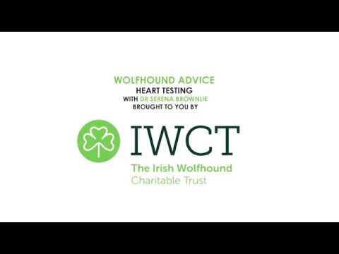 Irish Wolfhound Heart Testing Explained.