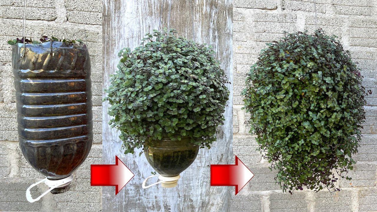 Sử dụng chai nhựa làm chậu trồng cây tóc rối  | Callasia repens tree