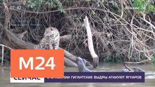 В Бразилии гигантские выдры атакуют ягуаров - Москва 24