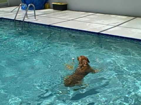 Golden Retriever Kasey Haley Largo Diving Dogs