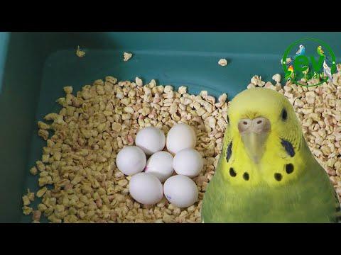 Muhabbet Kuşu Kaç Günde Bir yumurtlar | Muhabbet kuşu kaç tane yumurtlar