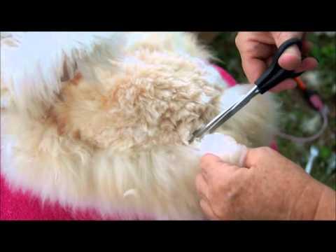 Grooming a English Angora