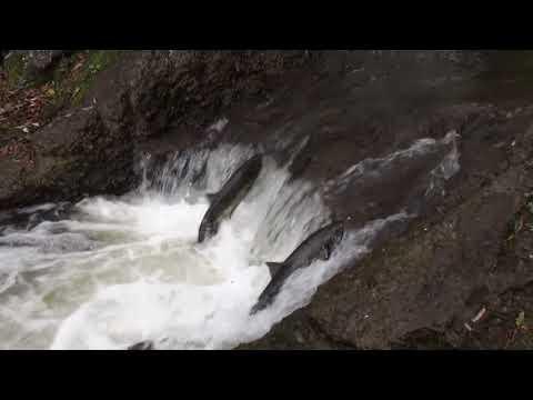 堰を壊した後のサケの遡上 Salmons going up