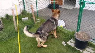 Working Line German Shepherd Dog - 10 Months Old
