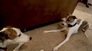 Greyhound, Whippet, Italian Greyhounds